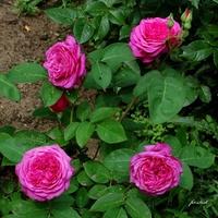 Róże na wieczór.