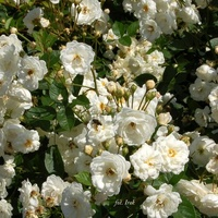 Róże w ogrodzie botanicznym