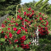 Róże w wejściu na działkę.
