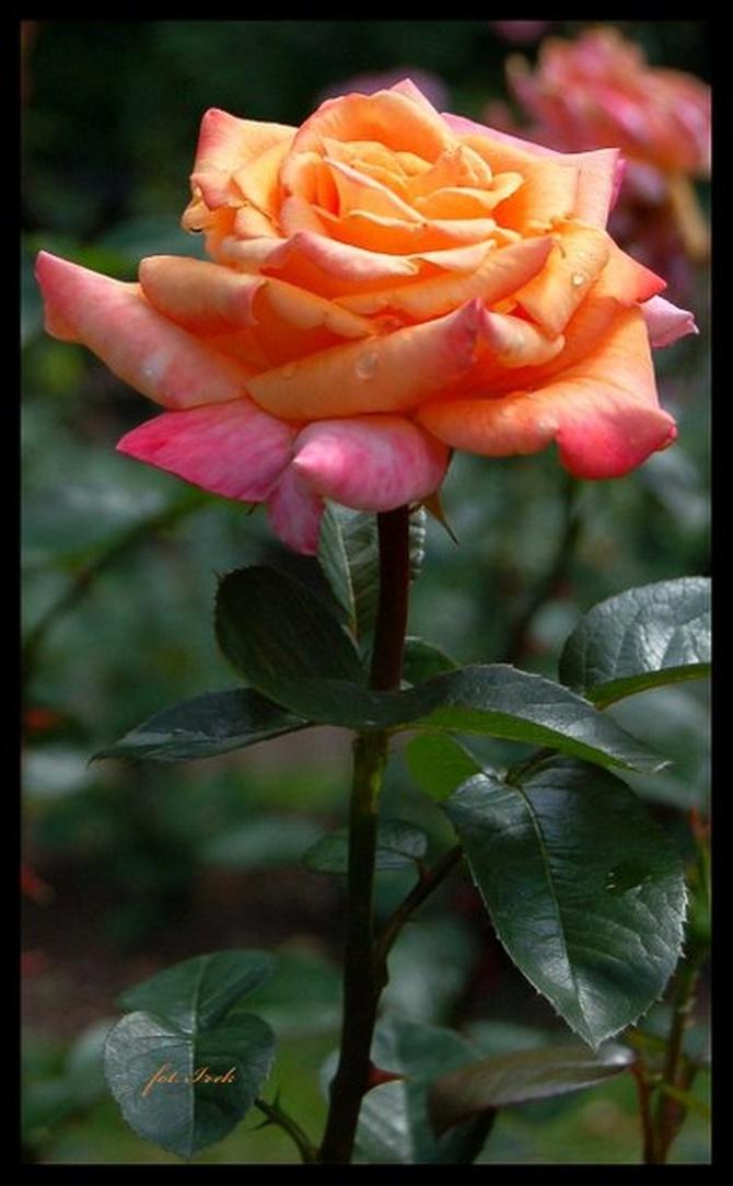 Jaka róża taki cierń