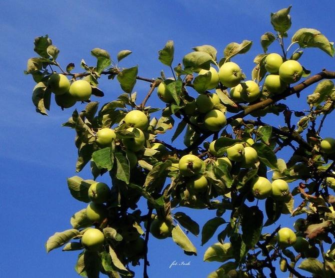 Powoli dojrzewają jabłuszka