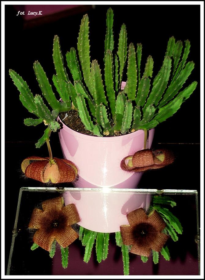 Stapelia, użyłam lusterka by pokazać kwiaty :)