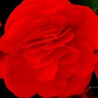 Begonia czerwona