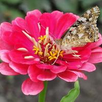Czas cynii i motylków