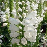 Dużo białych pięknych pyszczków