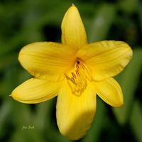 Liliowiec żółty.