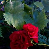Róża w winogronie.