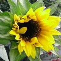 słonecznik ozdobny doniczkowy