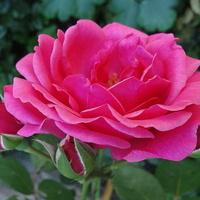 Snów w różowym kolorze i . . . . . . .