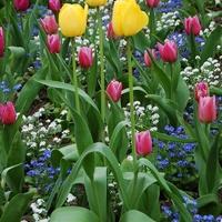 Tulipany wiosną też nie zawiodły