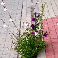 Wiązanka kwiatów rośnie na jezdni przy krawężniku
