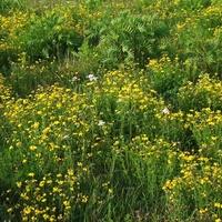 Żółta łąka...