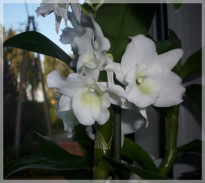 Dendrobium Apollon...
