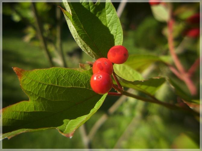 Kalinowe owoce...