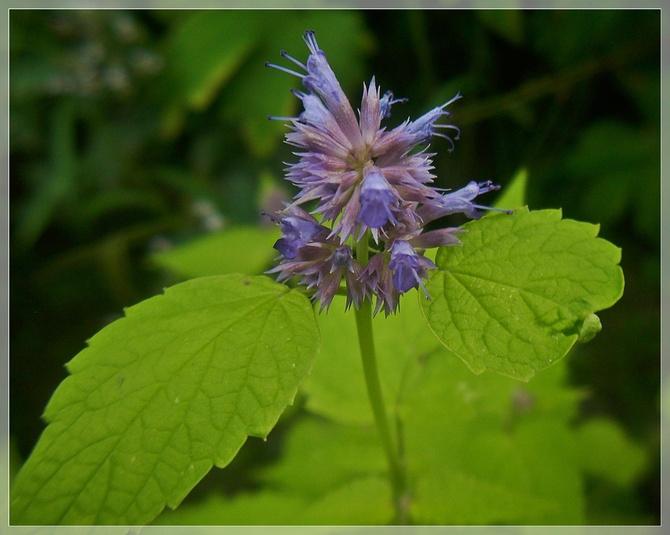 Kłosowiec o seledynowych liściach...
