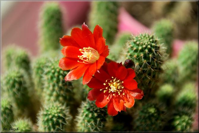 W tym roku miał tylko 3 kwiatki , na zdj. 2