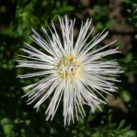 Aster igłowy biały