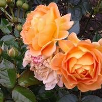 Cudowny kolor Róż