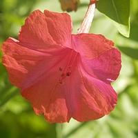 Dziwaczek to dziwny kwiatek, rozkwita wieczorem.