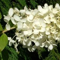 Gałązka hortensji
