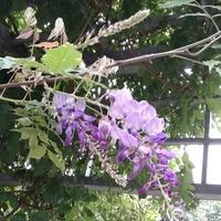 Glicynie,w fazie kwitnienia