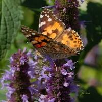 Głodny motyl na kłosowcu.