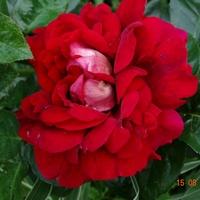 Kwiat uniwersalny....
