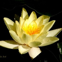 Lilia wodna żółta