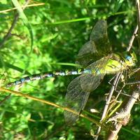 Neonowa ważka (żagnica zielona)