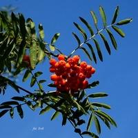 Owoce jarzębiny (jarząbu)