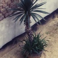 Piękna, dorodna palma.