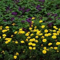 Rabata kwiatowa w sierpniu (fragment)