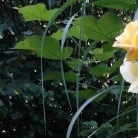 Róża moja faworyta