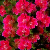 Różowe pelargonie