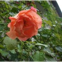 Różyczka pod okienkiem...