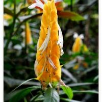 Żółta Świeczka Pachystachys Żółty