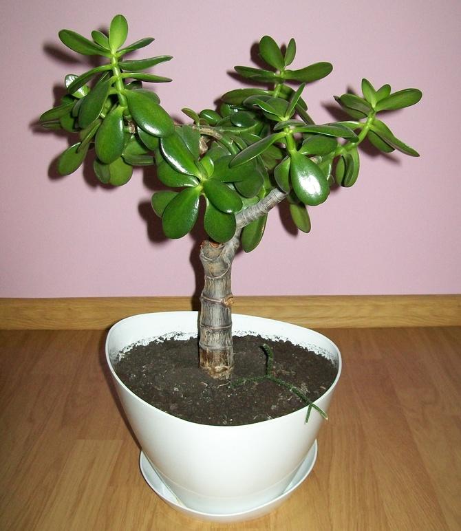 drzewko szczęścia (grubosz jajowaty)