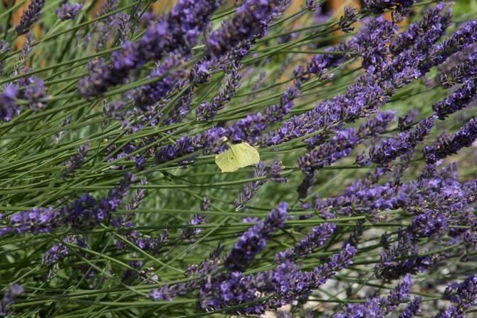 Lawendowy raj dla pszczół i motyli.