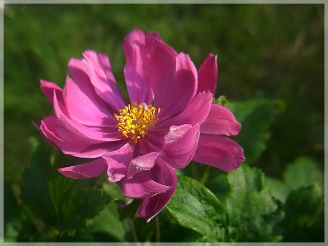 Zawilcowy róż...