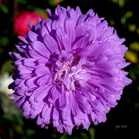 Aster fioletowy