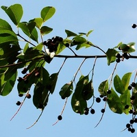 Gałązka czeremchy z owocami