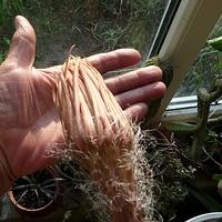Pąk  Selenicereus grandiflorus