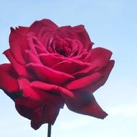 Różyczka. Miłego