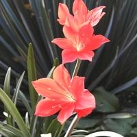 Vallota- kwiaty.