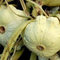 Warzywa patisony już dojrzały