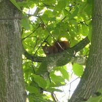 Wiewiórka w