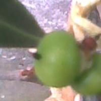 zielone owoce