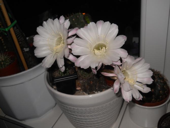 Echinopsis.