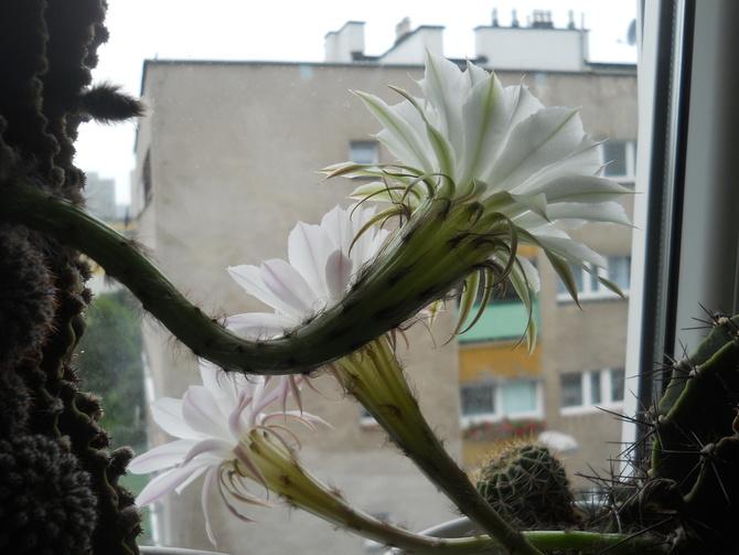Echinopsisy dwa.