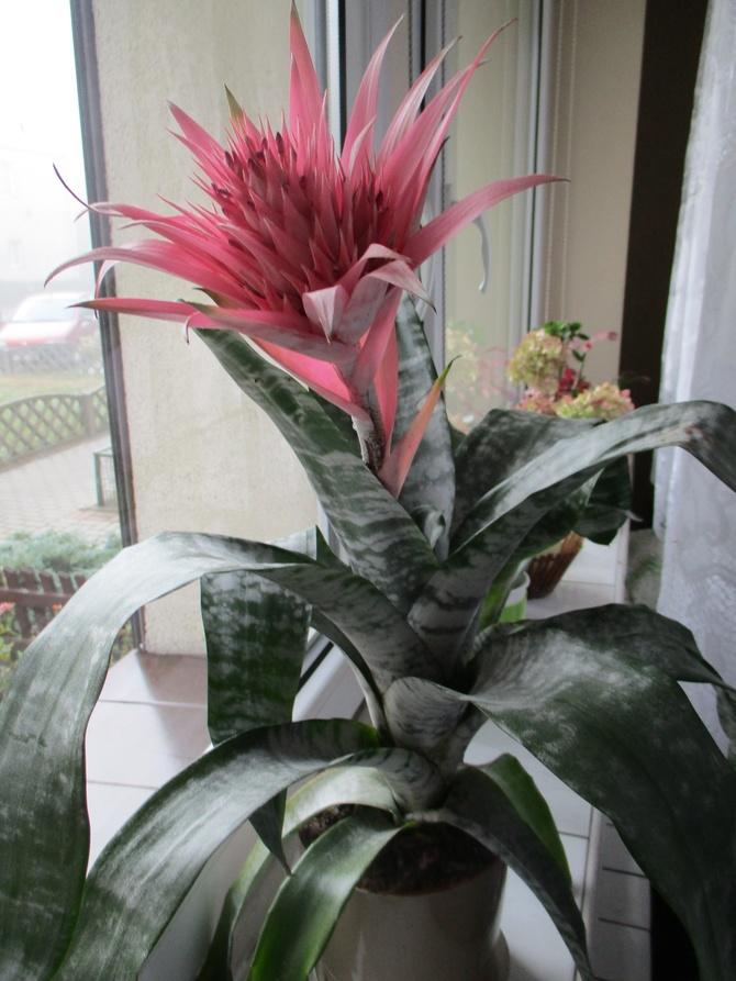 kwiat Aechma